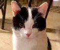 A picture of #ET02332: Oreo Cookie a Domestic Short Hair black/white