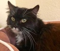 A picture of #ET02333: Mr Pibb a Persian black/white