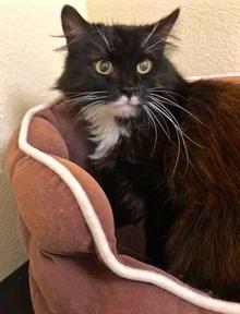 [picture of Mr Bibb, a Persian black/white cat]