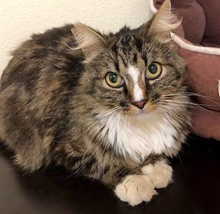 [another picture of Sooner, a Maine Coon-x brown tabby/white\ cat]