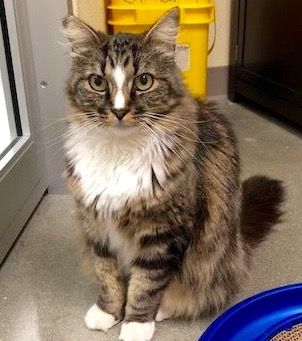 [picture of Sooner, a Maine Coon-x brown tabby/white cat]
