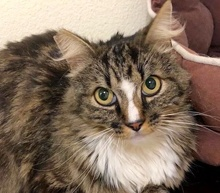 [picture of Sooner, a Maine Coon-x brown tabby/white\ cat]