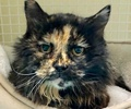 A picture of #ET02335: Monica a Domestic Long Hair tortie
