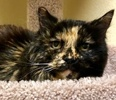 [picture of Monica, a Domestic Long Hair tortie cat]