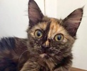 A picture of #ET02336: Usha a Domestic Short Hair tortie