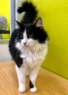 [picture of Halston, a Domestic Long Hair black/white cat]