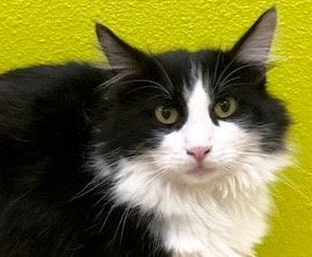 [picture of Halston, a Domestic Long Hair black/white\ cat]