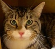 A picture of #ET02338: Lobo a Domestic Short Hair brown tabby/white