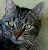 A picture of #ET02339: Dilly Dilly a Domestic Medium Hair black/gray tabby declawed