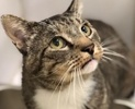 A picture of #ET02340: Hennessey a Domestic Short Hair brown tabby/white