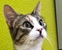 A picture of #ET02341: Yulia a Domestic Short Hair calico