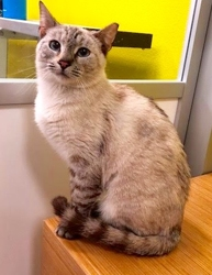 [picture of Lynx, a Siamese Mix lynx point poly cat]