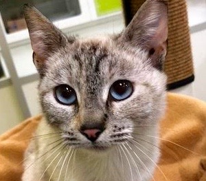 [picture of Lynx, a Siamese Mix lynx point poly\ cat]