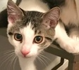 A picture of #ET02346: Squeak a Domestic Medium Hair white/tabby