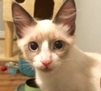 A picture of #ET02347: Pip a Siamese bluepoint