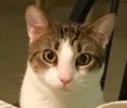 A picture of #ET02348: Nugget a Domestic Short Hair white/brown tabby