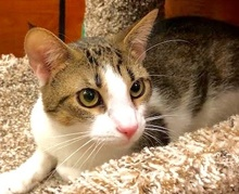 [picture of Nugget, a Domestic Short Hair white/brown tabby cat]