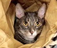 A picture of #ET02349: Fives a Domestic Short Hair silver tabby