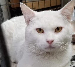 [picture of Lassen, a Domestic Short Hair white\ cat]