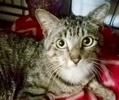 A picture of #ET02352: Foreigner a Domestic Short Hair brown
