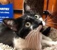A picture of #ET02354: Tahnia a Domestic Short Hair black/white