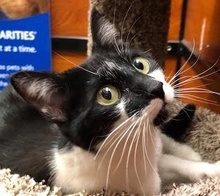 [picture of Tahnia, a Domestic Short Hair black/white\ cat]