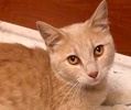 A picture of #ET02356: Arleigh a Domestic Short Hair buff