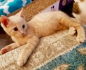 A picture of #ET02362: Moppet a Domestic Short Hair buff