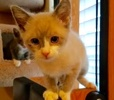 A picture of #ET02363: Mittens a Siamese snowshoe