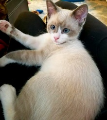 [another picture of Mittens, a Siamese snowshoe\ cat]