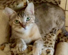 [another picture of Serrano, a Domestic Short Hair gray torbie\ cat]