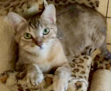 [picture of Serrano, a Domestic Short Hair gray torbie\ cat]