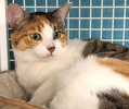 A picture of #ET02367: Cambria a Domestic Short Hair calico