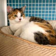 [another picture of Cambria, a Domestic Short Hair calico\ cat]