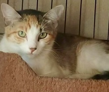[picture of Cambria, a Domestic Short Hair calico\ cat]
