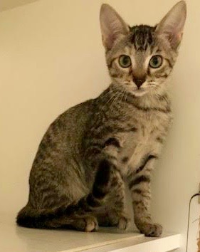 [another picture of Summer, a Domestic Short Hair tabby\ cat]