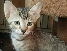 [picture of Summer, a Domestic Short Hair tabby\ cat]