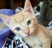 A picture of #ET02370: Slugger a Domestic Short Hair orange tabby