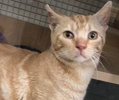 A picture of #ET02371: Slinky a Domestic Short Hair tabby