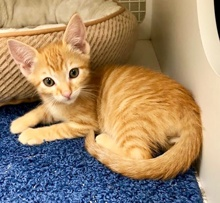 [another picture of Spanky, a Domestic Short Hair orange tabby\ cat]