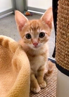 [picture of Spanky, a Domestic Short Hair orange tabby cat]