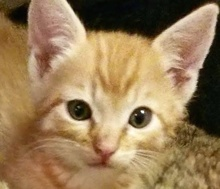[picture of Spanky, a Domestic Short Hair orange tabby\ cat]