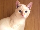 A picture of #ET02374: Casper a Siamese flame point