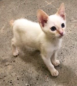 [picture of Casper, a Siamese flame point cat]