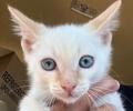 [picture of Casper, a Siamese flame point cat]