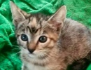 A picture of #ET02375: Cameo a Domestic Short Hair torbie