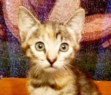 [picture of Capri, a Domestic Short Hair torbie\ cat]