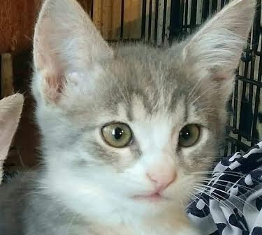 [picture of Cricket, a Domestic Short Hair silver/white\ cat]