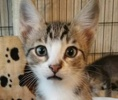 A picture of #ET02378: Cody a Domestic Short Hair brown tabby/white