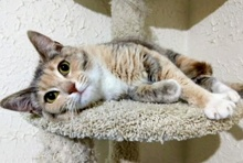 [another picture of Lupia, a Domestic Short Hair calico\ cat]